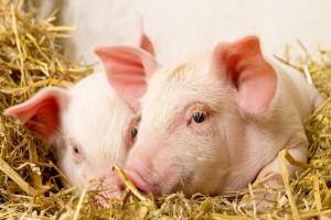 Dania: Pogłowie świń stabilne