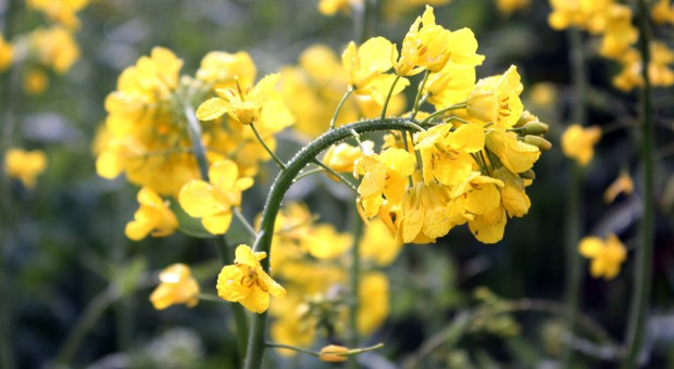 Przymrozki mogły uszkodzić pąki kwiatowe rzepaku