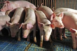 Niemcy: Ceny świń trzymają się mocno