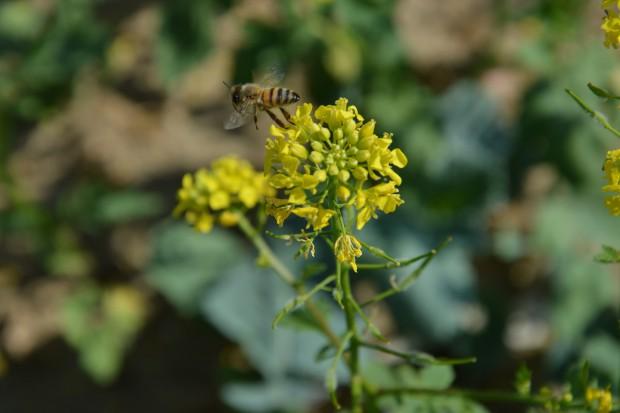 Rolnicy, politycy i … pszczoły zakładnikami Greenpeace