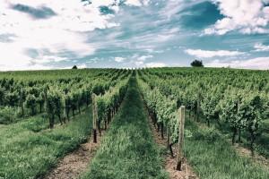 Copa i Cogeca o wpływie przymrozków na winnice w UE