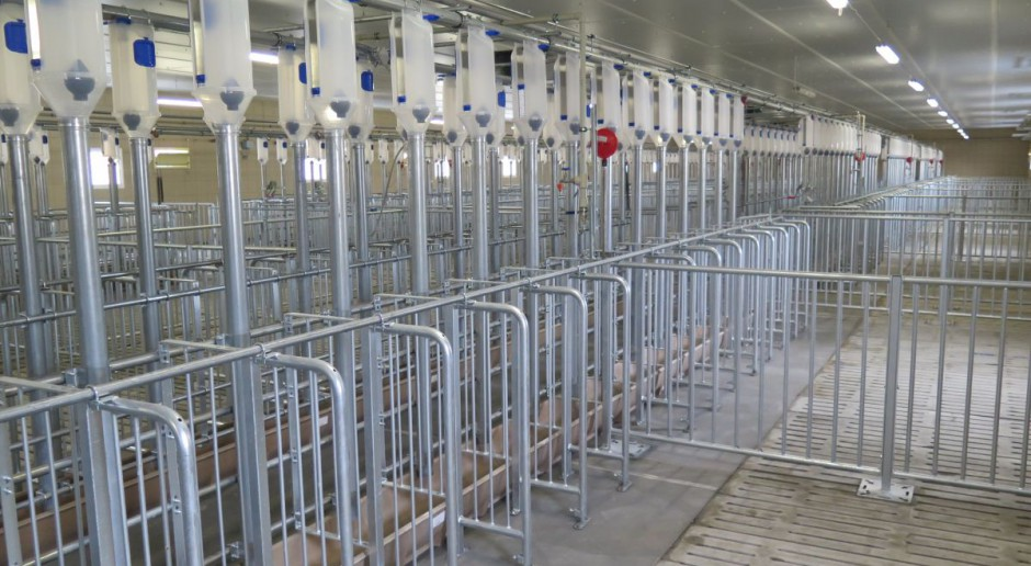 Czy wysokie ceny skupu świń zachęcają rolników do zwiększania produkcji?