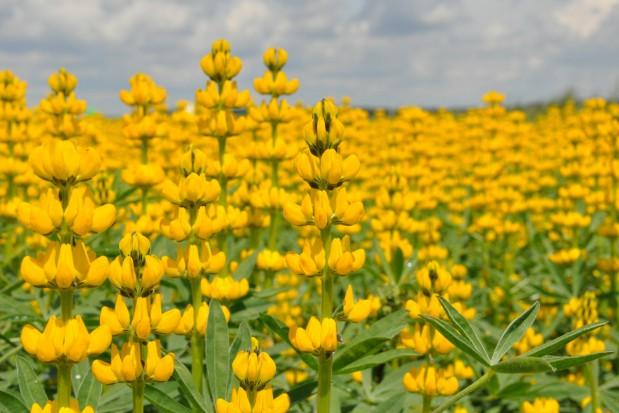 Zagrożenie łubinu żółtego chorobami grzybowymi