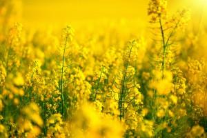 Resort rolnictwa nie zgodził się na stosowanie neonikotynoidów do ochrony rzepaku