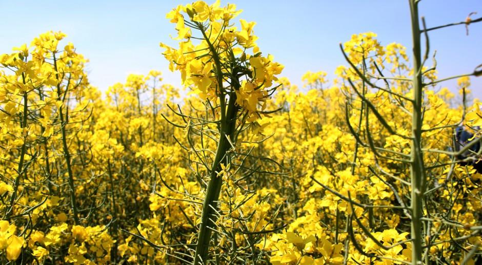 Liczne fitoplazmy w kwitnącym rzepaku