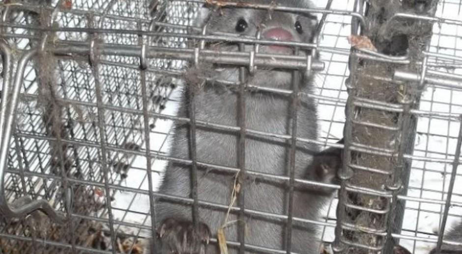 Niemcy: Stosowanie tłuszczu zwierzęcego w żywieniu przeżuwaczy będzie dozwolone