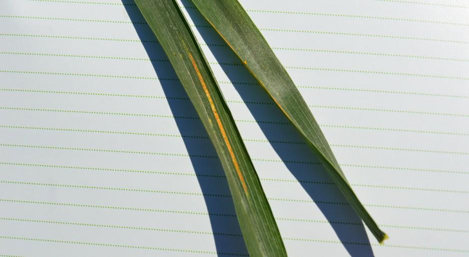 Preparaty zwalczające rdzę żółtą w pszenicy ozimej