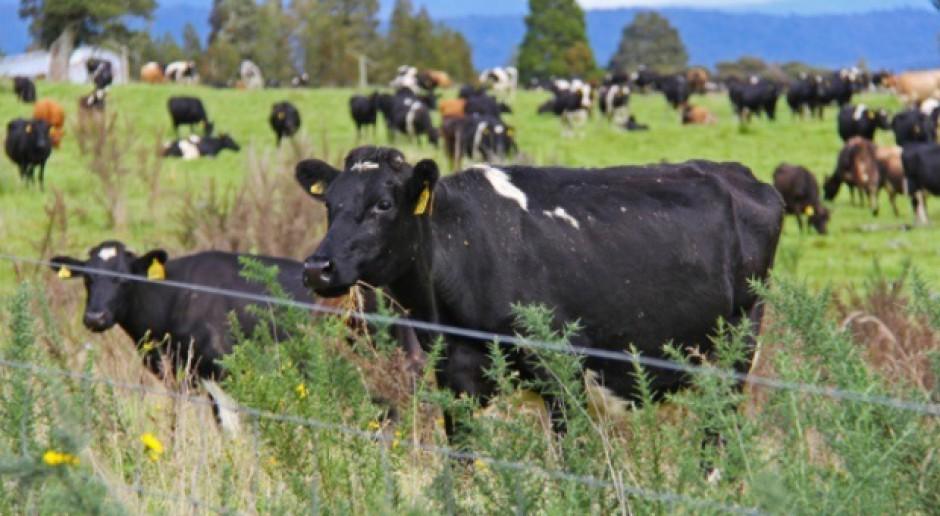 Nowa Zelandia: Fonterra podnosi prognozy ceny mleka