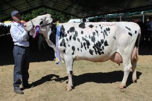 Czempion w kategorii krowy PHF odmiana HO w III laktacji i dalszej oraz superczempion wśród krów