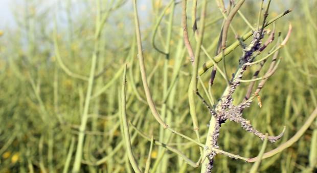 Kolonie mszycy w rzepaku
