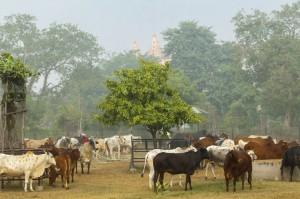 Indie: Ograniczenia w sprzedaży bydła szkodzą przemysłowi