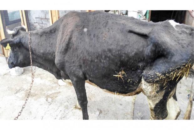 Europa w obliczu groźnej choroby bydła