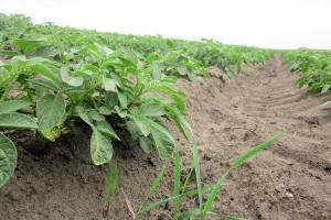 Trudna sztuka powschodowego odchwaszczania ziemniaka