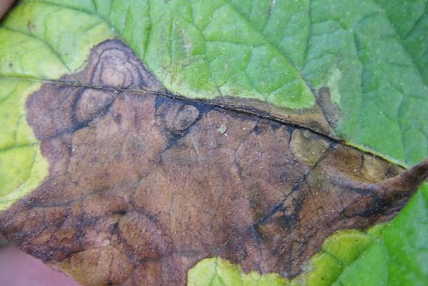 W walce z alternariozą ziemniaka