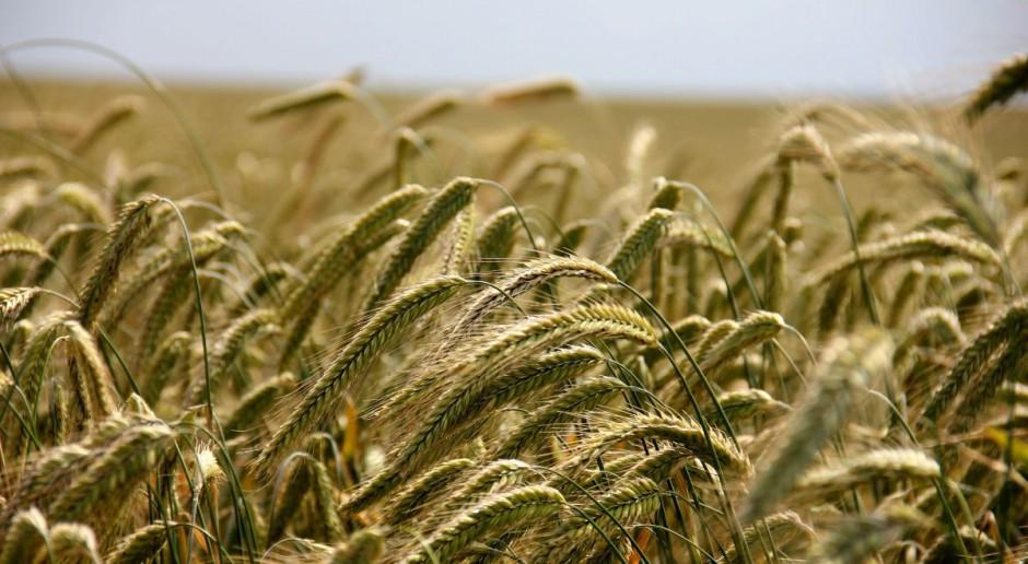 Mocny spadek cen zbóż w oczekiwaniu na publikację danych