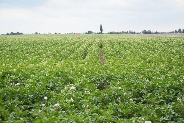 Zwalczanie zarazy ziemniaka