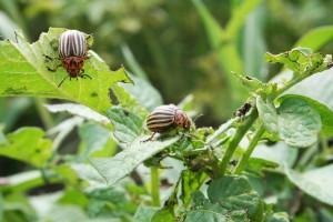 Odporność stonki ziemniaczanej na insektycydy