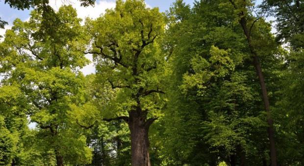 """Internauci wybierają polskie """"Drzewo Roku"""""""