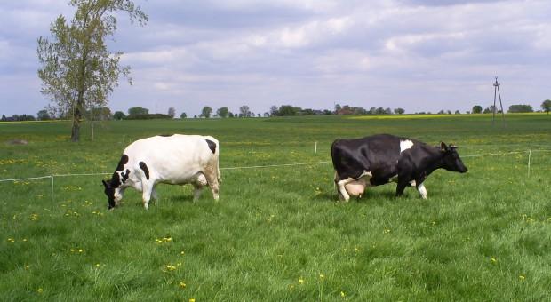Wypas bydła pod kontrolą