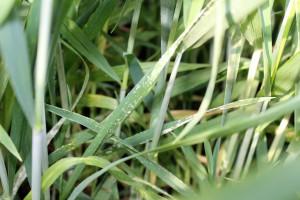 Mączniak prawdziwy zbóż i traw (Blumeria graminis) tradycyjnie zdominował dolne partie zbóż; Fot. Anna Kobus