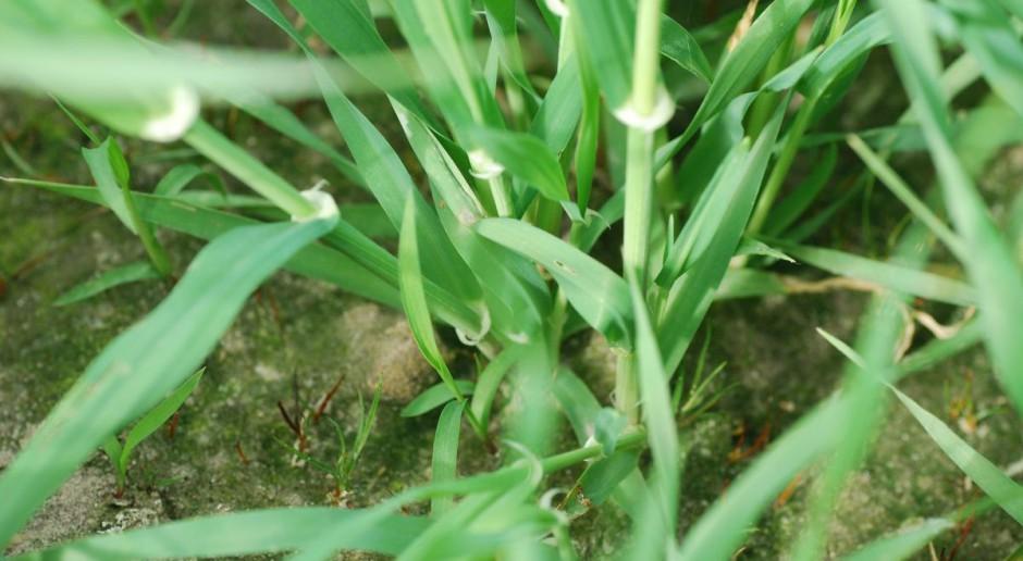 Bezopryskowy fungicyd? Są efekty zastosowania