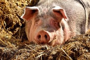 Po wejściu do UE Polska importerem wieprzowiny