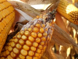 Najczęściej pod koniec wegetacji kukurydzy na kolbach pojawia się białoróżowa grzybnia świadcząca o porażeniu grzybami z rodziny Fusarium spp.