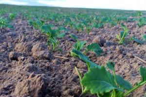 Nowości w palecie herbicydów rzepaczanych od BASF