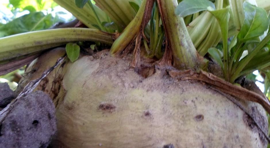 DLF Seeds przejmuje Dział Nasion Buraka Cukrowego od firmy Syngenta