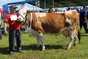 Czempion wśród krów rasy simentalskiej