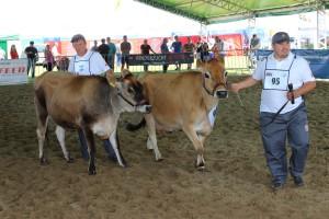 Krowy rasy jersey