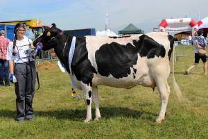 Czempion w kategorii krowy PHF odmiany HO w I laktacji