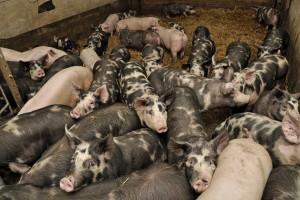 Ceny świń: najlepsze dopiero przed nami