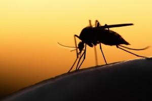 Najwięcej komarów wykluje się na przełomie czerwca i lipca