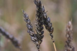 W przypadku przedłużających się zbiorów czernienie zbóż stanowi duże zagrożenie