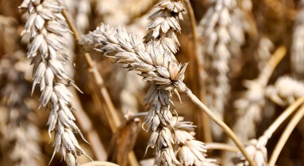 Czy czerń zbóż to poważne zagrożenie?
