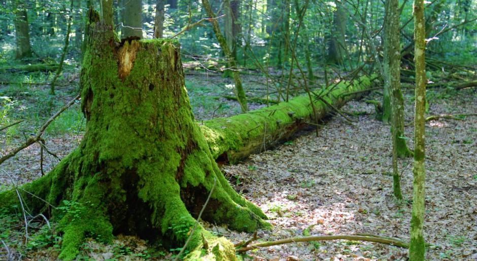 Szyszko: Puszczę Białowieską bezprawnie wpisano na listę dziedzictwa przyrodniczego UNESCO