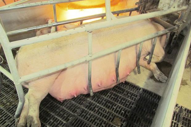 Co gryzie świnie?