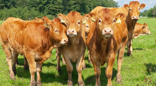 Wstępny opas bydła