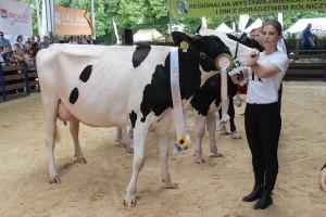 Czempion w kategorii krowy I laktacja młodsze, rasa PHF