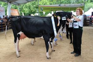 Czempion w kategorii krowy I laktacja starsze, rasa PHF