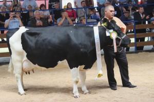 Czempion w kategorii krowy ras zachowawczych
