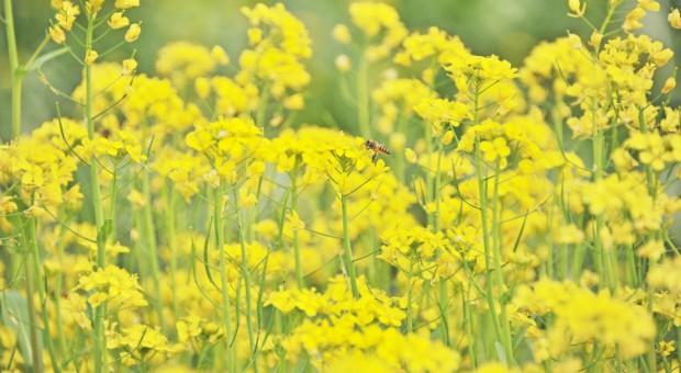 Izby rolnicze za stosowaniem zapraw neonikotynoidowych w uprawie rzepaku