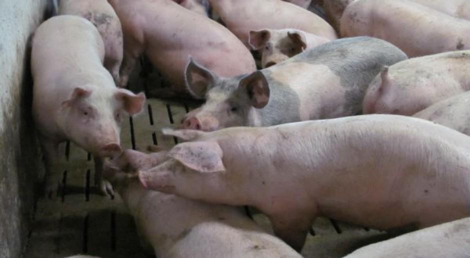 Eksport wieprzowiny rośnie pomimo ASF