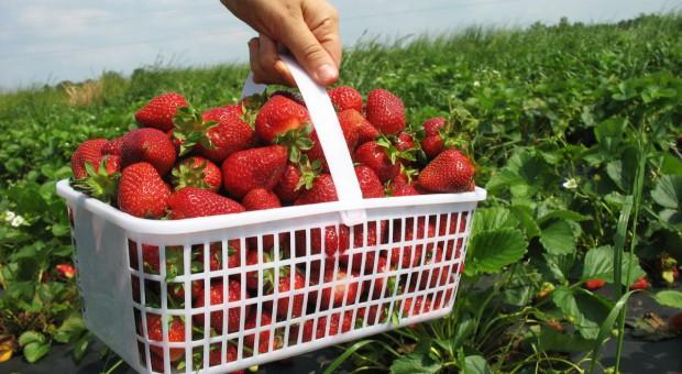 Eksperci: Sezon truskawkowy w pełni; owoce gorsze i tańsze niż rok temu