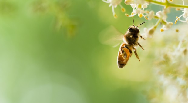 Dlaczego insektycydy zabijają pszczoły na Węgrzech, ale nie w Niemczech?