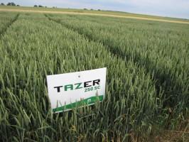 Doświadczenie z mieszanin ą fungicydów Tazer 250 SC 0,6 l/ha + Mystic 250 EC 0,8 l/ha w pszenicy ozimej, odmiana Turnia