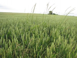 Kontrola doświadczenia z Apyrosem 75 WG na perz (Agropyron repens) w pszenicy ozimej, odmiana Tonacja