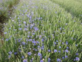 Preparat słabo zwalczający chabra w pszenicy ozimej, odmiana Tonacja