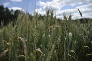 Jurgiel: Ceny zbóż w '17 będą stabilne
